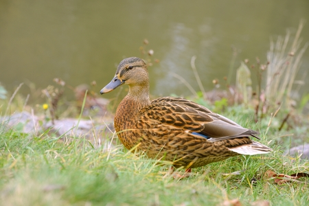 Full length side view of a female mallard duck on grass by the rives � horizontal orientation photo