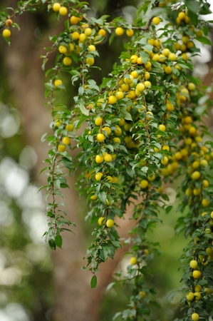 prunus cerasifera: Plenty of yellow cherry plums growing on a tree branch