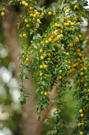 alycha: Plenty of yellow cherry plums growing on a tree branch