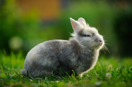 bunnie: A full-length shot of a cute fluffy gray and white rabbit on a green lawn in summer Stock Photo