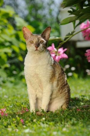 cornish: Cornish Rex Cat Sitting on Green Lawn