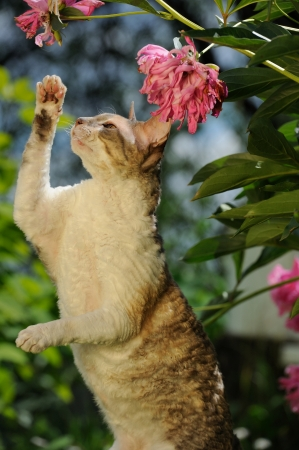 cornish rex: Cornish Rex Cat Playing with Flowers Stock Photo