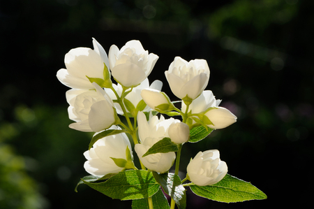 philadelphus: White Jasmine Flowers on Green Background