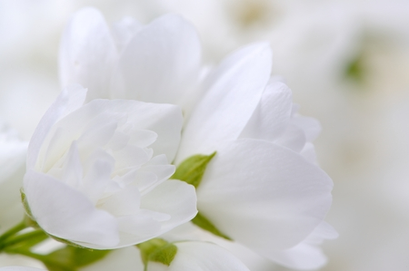 philadelphus: Romantic White Jasmine Flowers Close-Up