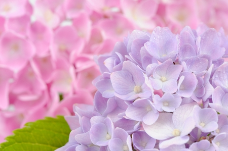 Beautiful Purple and Pink Hydrangea Flowers photo