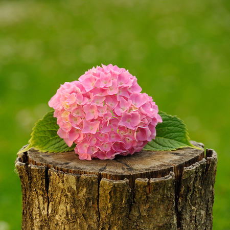 Pink Hydrangea Flowers on Tree Stump photo