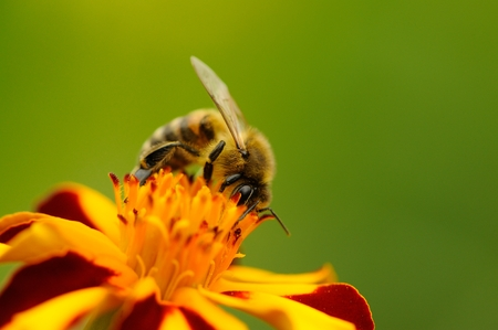 A close-up of a bee pollinating a marigold (tagetes) flower Stock Photo - 23131401