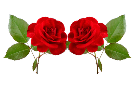 Two beautiful red roses isolated on a white background photo
