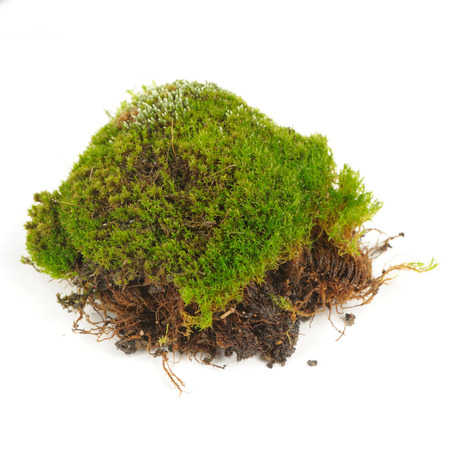 clump: Clump of Green Moss Isolated on White Background Stock Photo