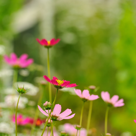 Pink Garden Cosmos Flowers in Summer photo