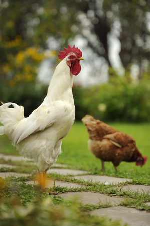 White Cock and Hen photo