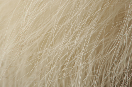 fox fur: Natural Arctic Fox Fur Macro Stock Photo