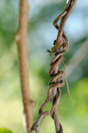 creeping: Creeping Grape Vine