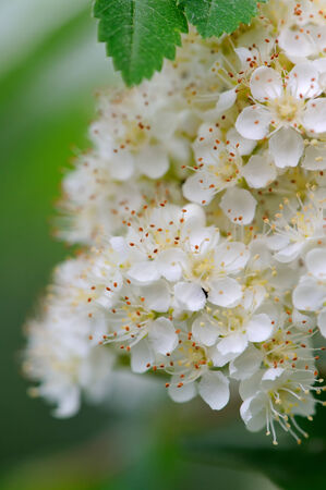 pestil: White Rowan Flowers Close-Up