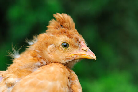 Cute Crested Baby Chicken photo