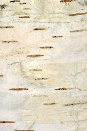 White Birch Bark Texture photo