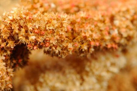 Dry Amaranth  Love-Lies-Bleeding  Flowers Close-Up photo