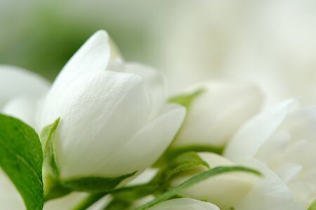 philadelphus: A close-up of beautiful white jasmine flowers Stock Photo