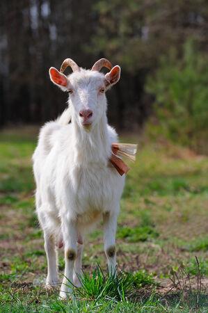 Goat on Pasture photo