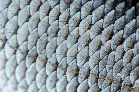 scales of fish: Bienes Roach Escalas de pescados de textura Macro