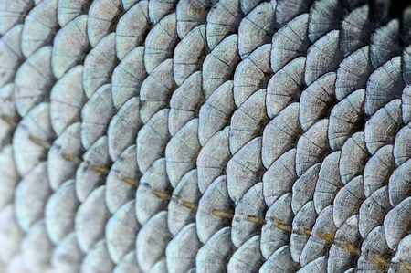 Real Roach Fish Scales Macro Texture