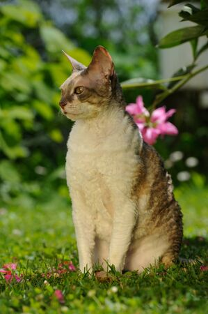 cornish: A cute Cornish Rex cat with curly hair sitting on a green lawn on a sunny summer day