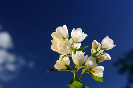 philadelphus: A branch of beautiful white jasmine flowers against a bright blue sky
