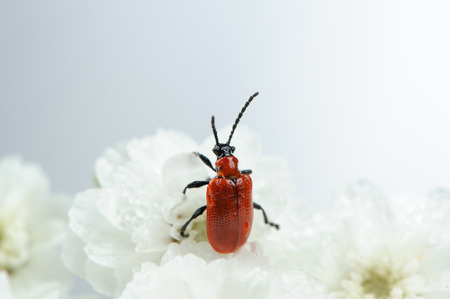 Scarlet Lily Beetle on White Flowers Close-Up photo