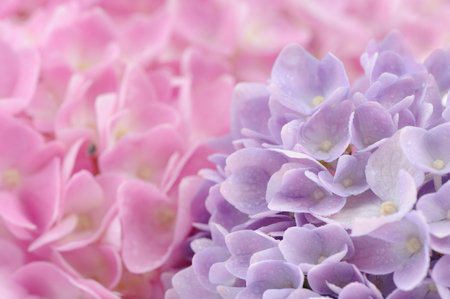 Beautiful Pink and Purple Hydrangea Flowers with Water Drops photo