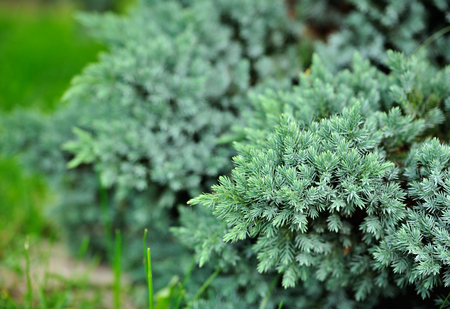 juniper tree: Evergreen Blue Juniper Bush
