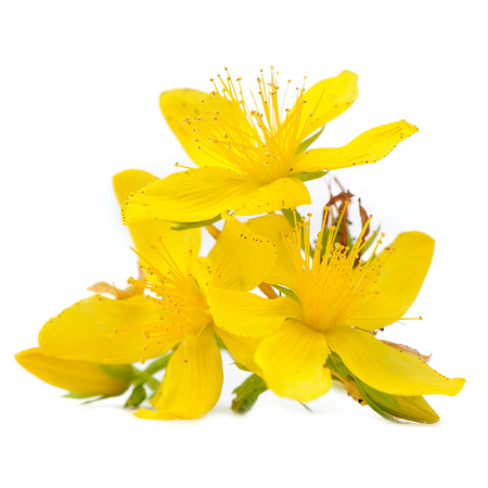 Perforate St Johns-Wort Flowers Isolated on White Background