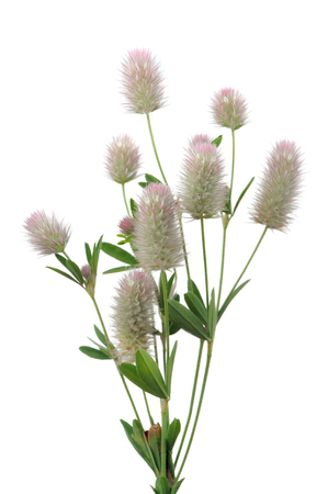 Haresfoot Clover or Trifolium Arvense on White Background photo