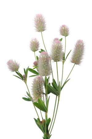 trifolium: Haresfoot Clover or Trifolium Arvense on White Background