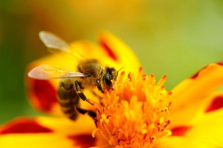 Bee Pollinating Marigold Flower photo