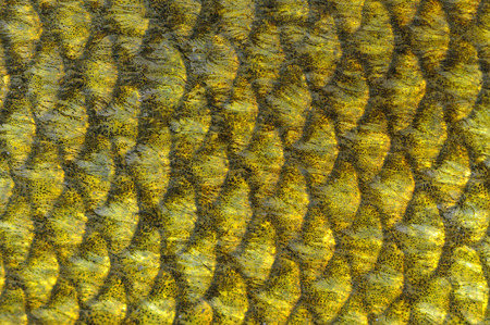 tinca tinca: Real Tench Fish Scales Macro Stock Photo