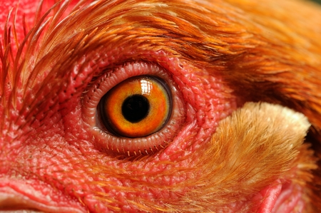 eye close up: Chicken Eye Close-Up