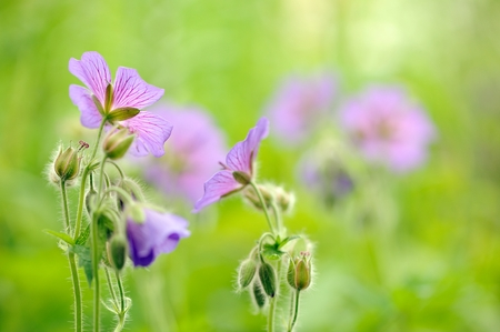 pretense: Purple Geranium Pretense or Meadow Cranesbill Flowers in the Meadow