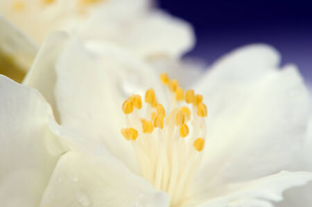 philadelphus: White Jasmine Flower Macro Stock Photo