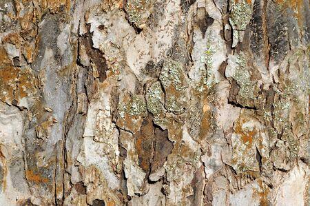dry tree: Tree Bark Texture Stock Photo