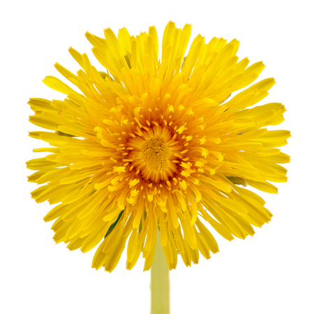 Yellow Dandelion  Taraxacum Officinale  Flower Close-Up on White Background photo