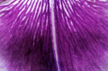 blueflag: Purple Iris P�talo Macro