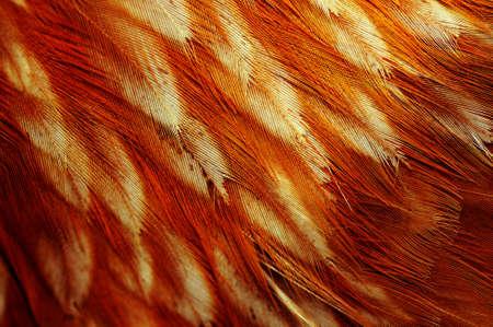 Chicken Feathers Macro photo