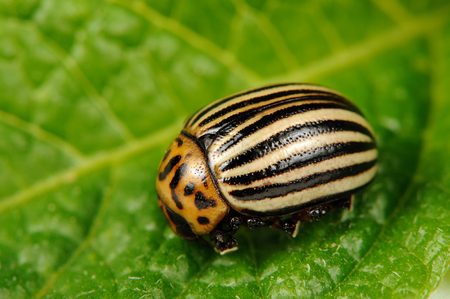 Colorado Potato Beetle on Potato Leaf photo