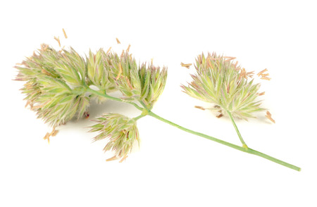 widespread: Dactylis Glomerata or Cocks-Foot Isolated on White Background