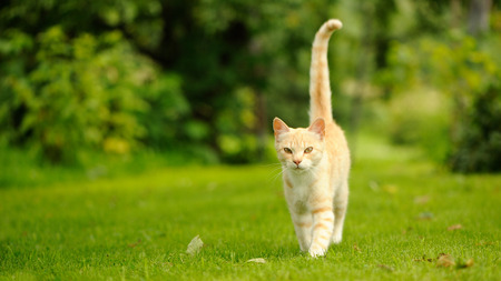 Graceful Cat Walking on Green Grass