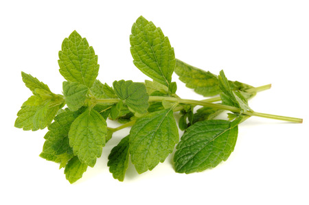 lemon balm: Lemon Balm or Melissa Officinalis Isolated on White Background Stock Photo
