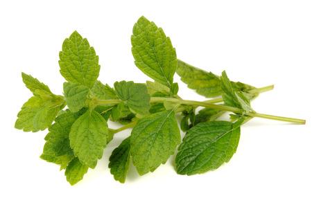 Lemon Balm or Melissa Officinalis Isolated on White Background Standard-Bild