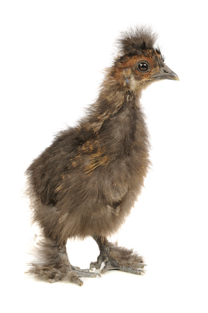 Funny Chinese Silkie Baby Chicken Isolated on White Background photo