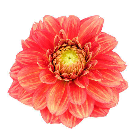 georgina: Red Dahlia Flower with Yellow Stripes Isolated on White Background