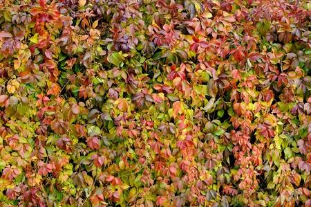 Parthenocissus Quinquefolia or Virginia Creeper Changing Color in Autumn photo
